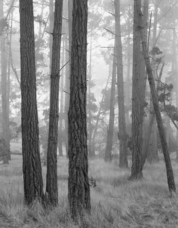 Monterey Pines in Fog by John Sexton