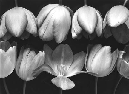 Nine Tulips by Ray McSavaney