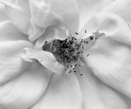 Rose No.1 by Anne Larsen