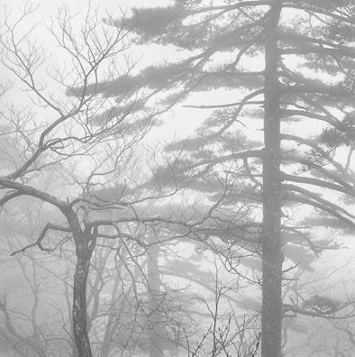 Trees In Mist by John  Sexton